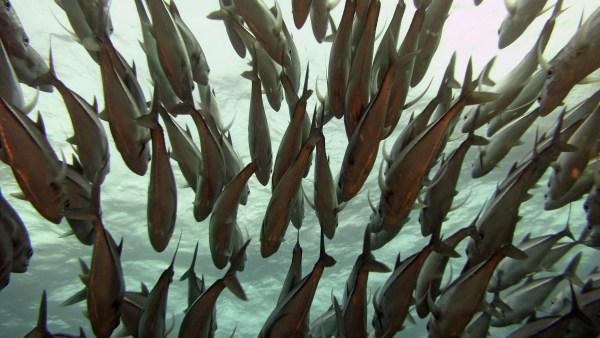 Peixe piracanjuba é fonte lucrativa para a aquicultura