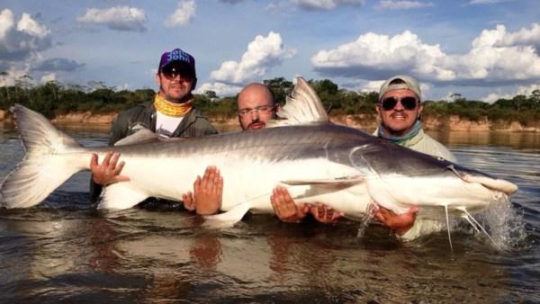 Piraíba é conhecido como o tubarão de água doce