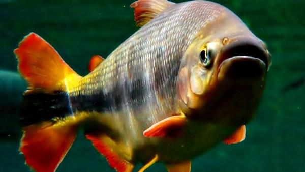Piraputanga tem espaço na pesca esportiva e comercial
