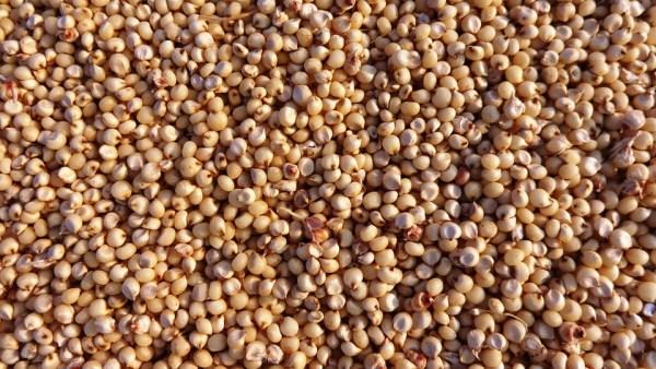Sorgo é cereal nutritivo e de cada vez mais popularidade