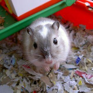 Gerbil é um roedor conhecido por ser carinhoso e discreto
