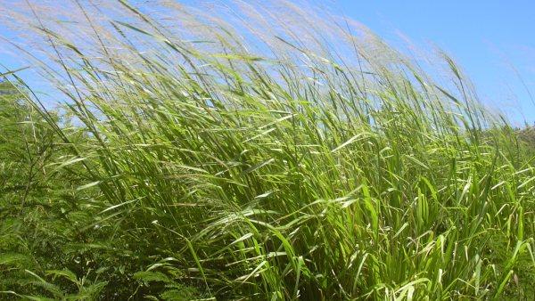 Capim mombaça é cultivar utilizado na alimentação de animais