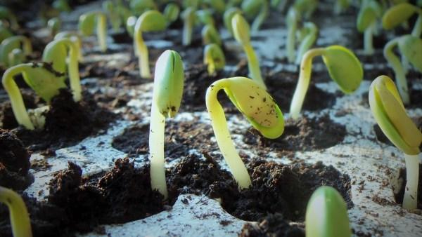 Germinação é o processo de brota de uma semente