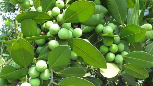 Guanandi é árvore brasileira com incrível capacidade de adaptação