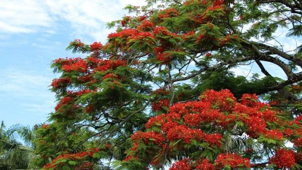 Flamboyant, a árvore que é símbolo da capital do Brasil