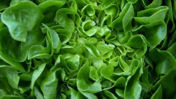 Alface é hortaliça de cultivo simples e com diversos benefícios à saúde