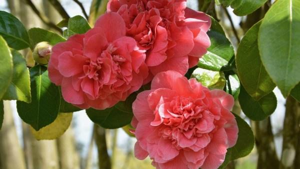 Camélia, a beleza e o encanto da flor da fidelidade