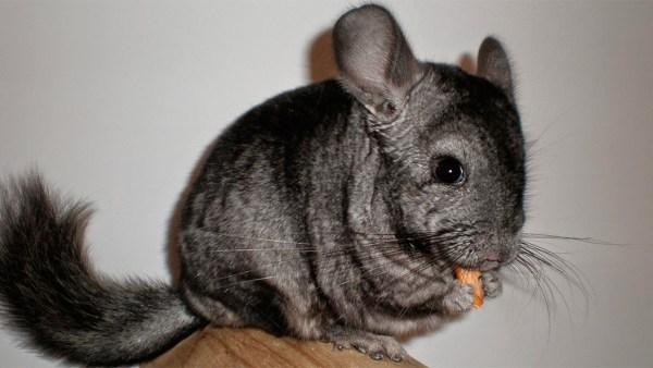 Chinchila é um roedor dócil e também fonte rentável para criação