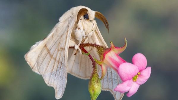 Criação de bicho da seda segue em expansão no país