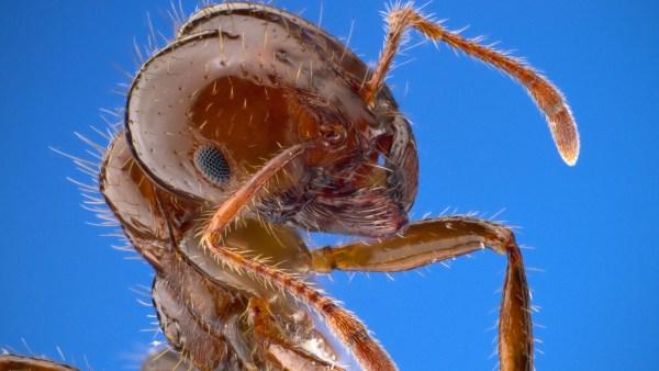 Formiga de fogo tem uma picada dolorida e pode causar alergias