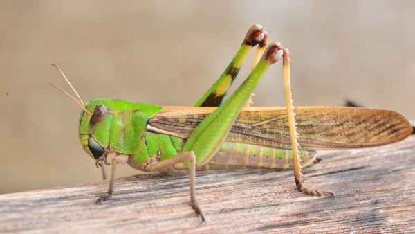 O gafanhoto é um inseto terrestre perigoso para as plantações agrícolas