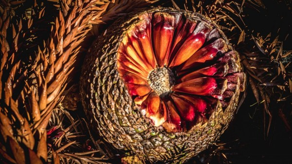 Pinhão é utilizado em uma série de receitas típicas e deliciosas