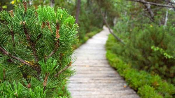 Pinheiro é o nome comum de árvores da divisão Pinophyta