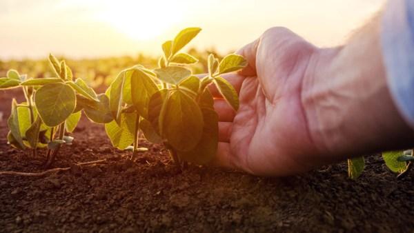 Plantação é aposta de pequenos produtores para grande lucratividade