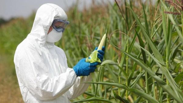 Alimentos transgênicos são aqueles modificados geneticamente