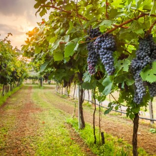 Videira, a árvore da uva, foi introduzida no Brasil em meados de 1500