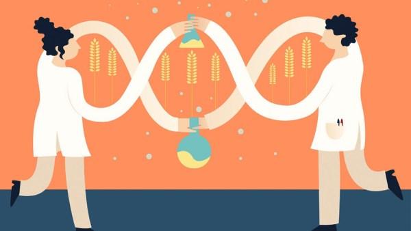 Transgênicos, geneticamente modificados, estão em diversas áreas
