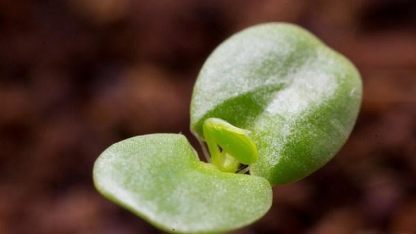 Meristema é tecido que influencia no desenvolvimento de vegetais