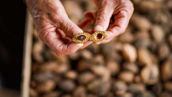 Castanha de baru é fruto do cerrado que ajuda a reduzir o colesterol ruim