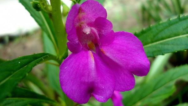 Beijo-de-frade é uma flor vistosa e de fácil propagação
