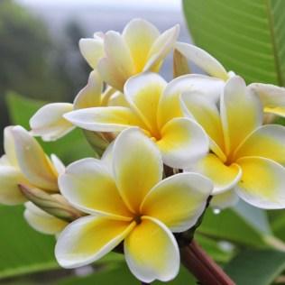 Jasmim manga deve ser cultivado em sol pleno e ambientes externos
