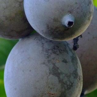 Jenipapo é um fruto amplamente encontrado na América Tropical
