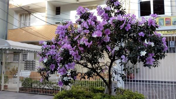 Manacá da Serra é árvore encontrada em diferentes estados brasileiros