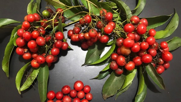 Porangaba é uma planta sul-americana famosa por atuar como diurético