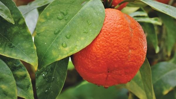 Laranja vermelha é anti-inflamatória e ajuda a diminuir a barriga