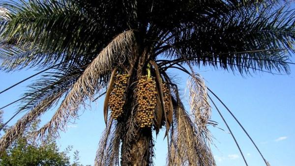 Macaúba é uma palmeira aproveitada desde os frutos até a madeira
