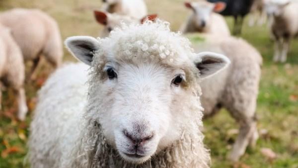 Ovinos têm grande importância no mercado do agronegócio brasileiro