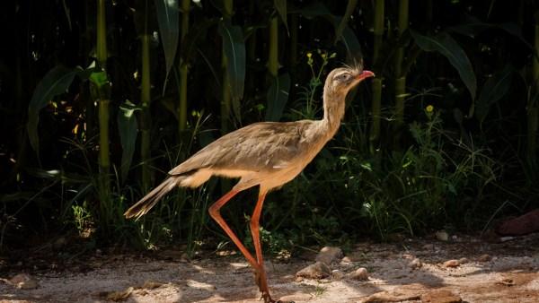 Seriema – ou siriema – é uma ave típica do nosso Cerrado