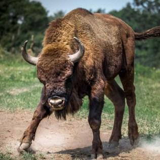 Touro é o nome dado ao macho da espécie conhecida como boi