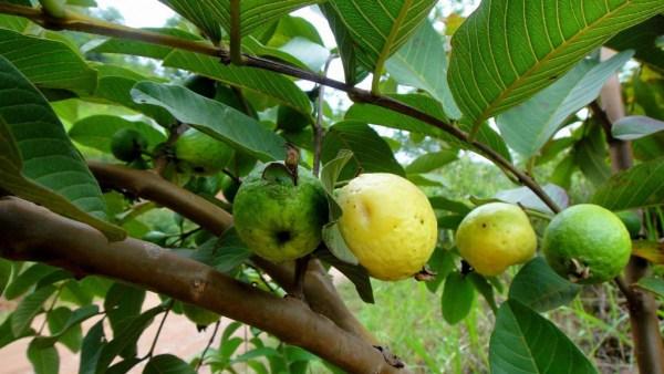 Goiabeira é a árvore que produz goiabas e pode chegar a até 7 metros