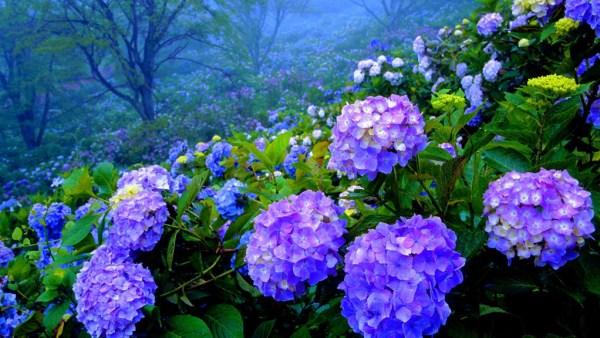 Hortênsia, muito usada como ornamento, é flor de grande beleza