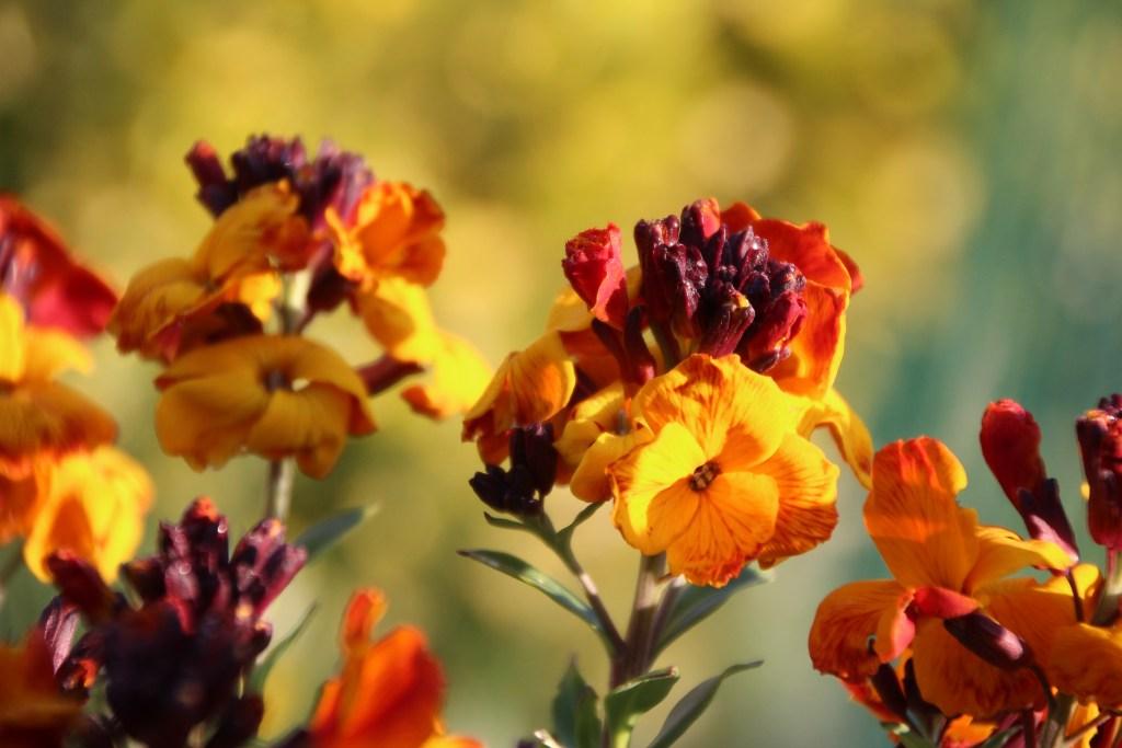 a flor goivo floresce na primavera ou no verão