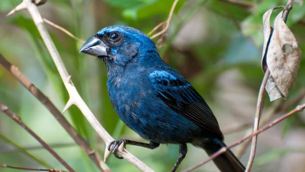 Azulão, da família Cardinalidae, tem bico negro e cor azul intensa