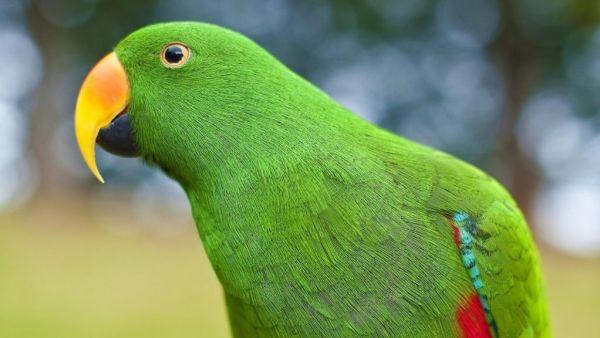 Maritaca é ave neotropical, bastante parecida com o papagaio
