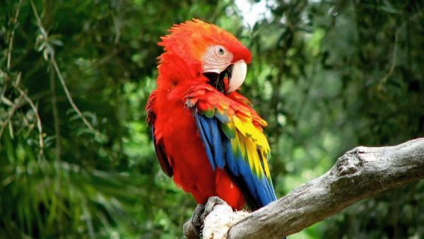Arara vermelha é nativa do Panamá, Brasil, Paraguai e Argentina