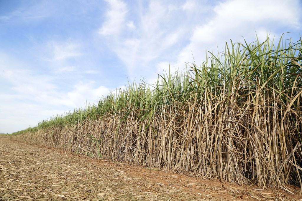 Cana-de-açúcar é uma das culturas do portfólio da BrasilAgro