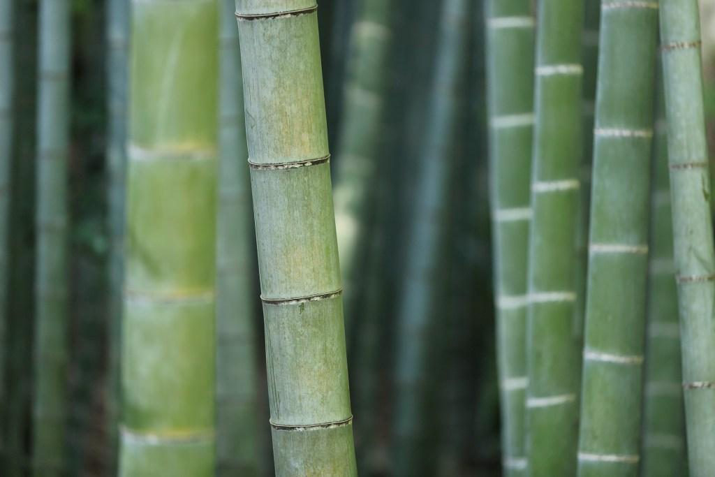 Colmo é o tipo de caule do bambu
