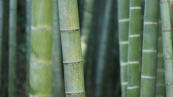 Colmo é um tipo de caule aéreo encontrado em várias plantas