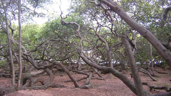 Maior cajueiro do mundo fica na praia de Piranji, no Rio Grande do Norte
