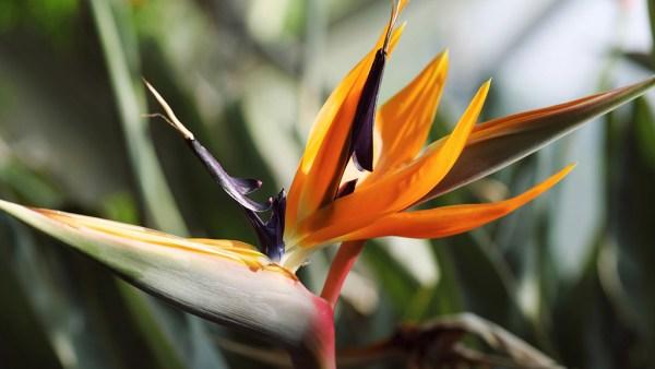 Estrelícia é uma espécie de planta que atinge até 1,20 metro