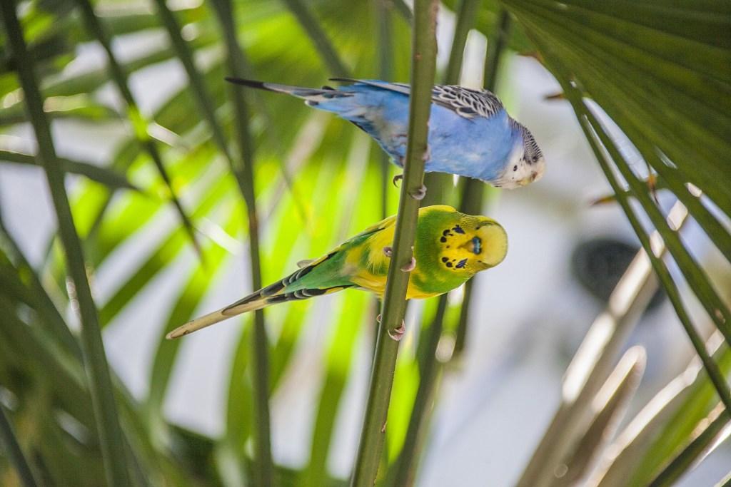 Na árvore, dois periquitos que são muito apreciados no ramo de criação de aves