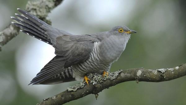 Cuco é uma ave de hábitos predominantemente solitários