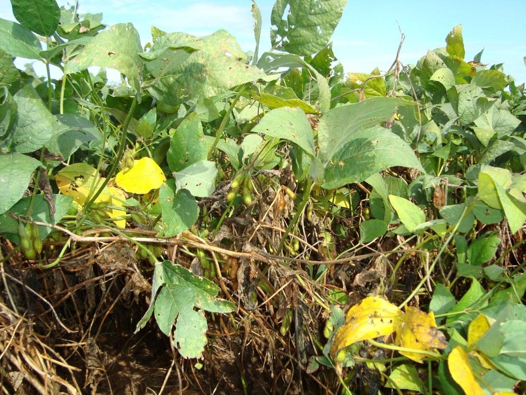 Plantas na lavoura com danos causados pelas doenças da soja