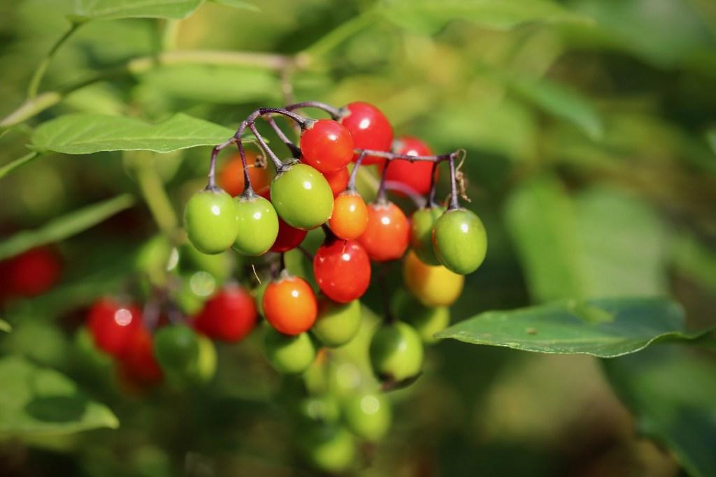 Frutos da planta erva de rato