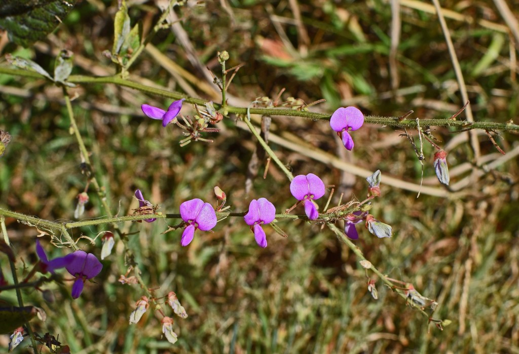Planta da ervilhaca, flor colorida e perfumada