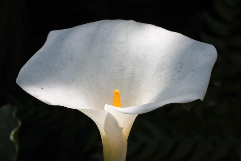 Flor copo de leite, que possui a espata ao redor do botão